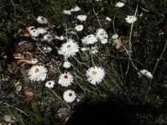 Everlasting Daisy (Paper flower)