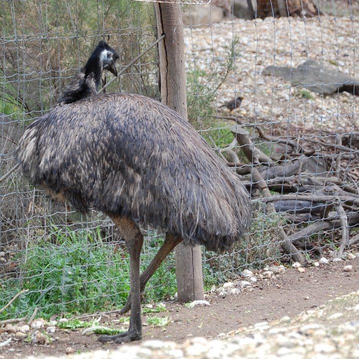 Emu pronounced EE mm you definitely never pronounced eeemoo