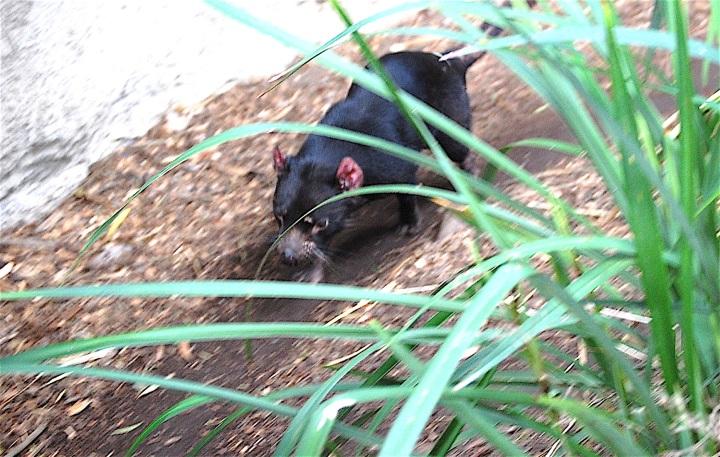 Tasmanial Devil