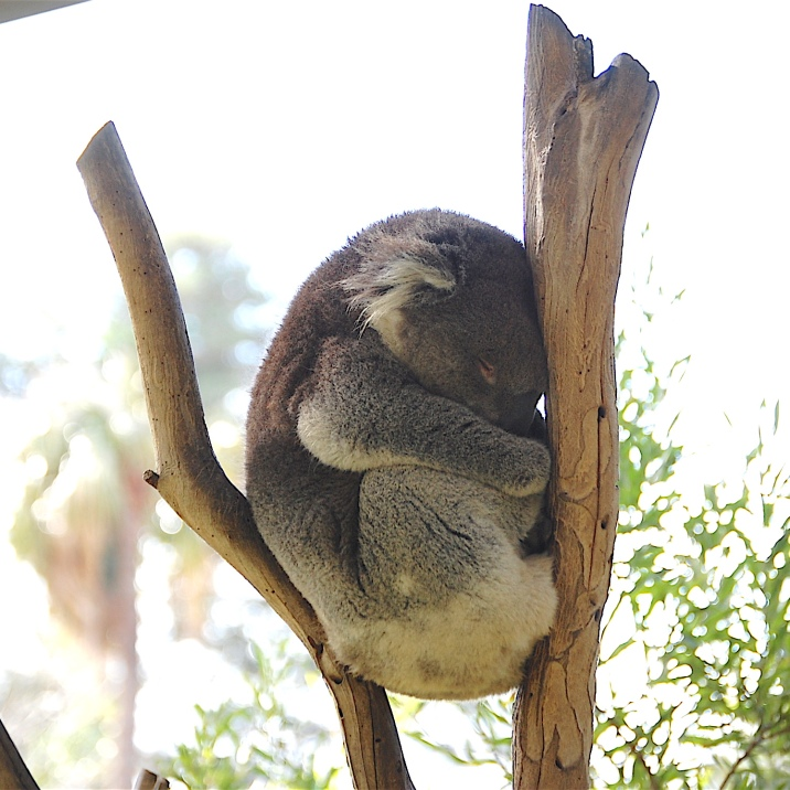 Sleepy Koala They have to put up with a lot. Just how much can a Koala bear?